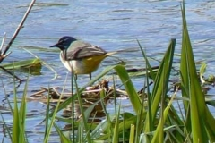 Grey Wagtail On The Ver - Ian Jinks