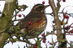 Redwing - A Winter Thrush Of The Ver Valley - Jamie Fisher