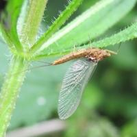 Open Meeting Tues 15 June: Riverflies