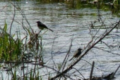 Grey Wagtail Pair On The Ver - Ian Jinks
