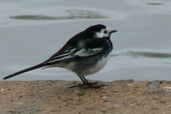 Pied Wagtail On The Ver - Ian Jinks
